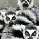 3 Ringtail Lemurs Cross Stitch Pattern Madagascar ETP