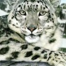 Snow Leopard Cross Stitch Pattern Cats ETP