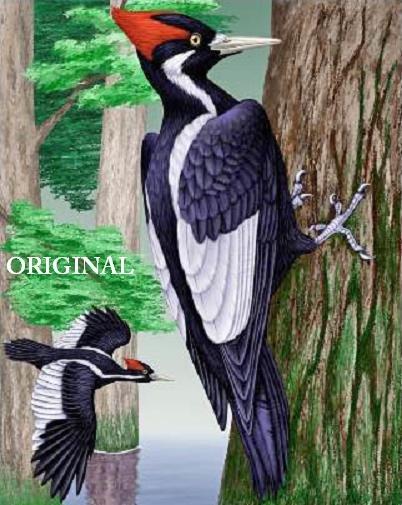 Ivory Billed Woodpecker 1 Cross Stitch Pattern Birds ~ETP~