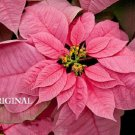 Pink Poinsettia... ~Counted~ Cross Stitch Pattern ETP