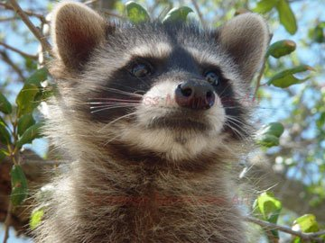 Raccoon Babby bandit racoon Art Print closed face Portrait photography