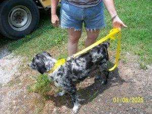 Training Martingale Style Dog Collar Greyhounds