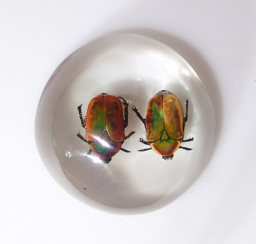 Double African Fruit Beetle Paperweight from Zimbabwe!