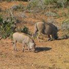 """African Warthog in motion"" Verdite Shona Stone Sculpture Handmade in Zimbabwe!"