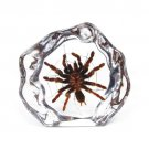 TARANTULA Real Genuine SPIDER INSECT Desktop Paperweight  Large  Paper Weight