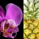 Pineapple Orchid Conditioning Scented Pumice Stone