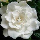 White Gardenia Conditioning Scented Pumice Stone