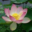 Lotus Flower Scented Kona Coffee Exfoliating Face Scrub