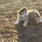 Wolf Pup 8 x 10 photo print new