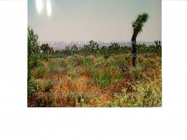 Joshua Tree Grove 8 x 10 photo print new