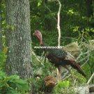 Lone Turkey 2465