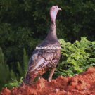 Woodland Turkey 2526