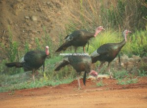 Four Turkey Gobblers 2527