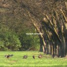 Pecan Orchard Turkeys  0234
