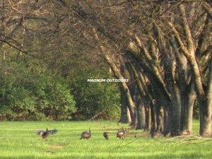Pecan Orchard Turkeys  0234