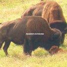 Buffalo Family 2660