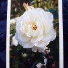 White Rose (FS-WR)