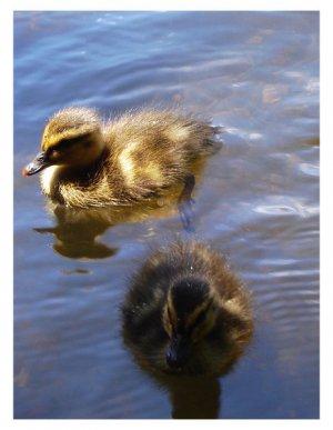 Baby Ducks Print