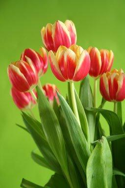 1 oz Tulip Fragrance Oil