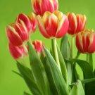 2 oz Tulip Fragrance Oil