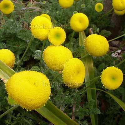 Cotula Lineariloba 3 5 Inch Pot Plant Big Yellow Moon