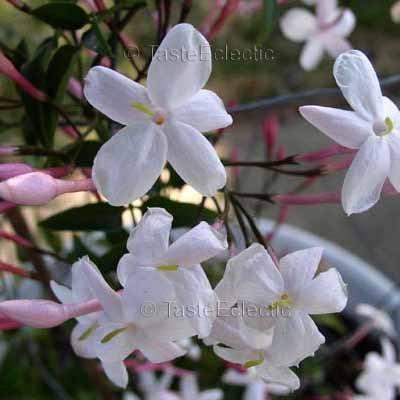 Jasminum Polyanthum 3 5 Inch Pot Plant Pink Winter