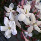 Jasminum polyanthum 4 Unrooted Cuttings PINK WINTER FLOWERING JASMINE VINE Fragrant Easy