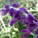 Salvia leucantha 'Midnight' 5 Unrooted Cuttings ALL PURPLE MEXICAN BUSH SAGE Z8