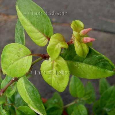 Fuchsia 'Golden Marinka' 3 inch Pot Plant YELLOW GREEN VARIEGATED Hard-To-Find TRAILING