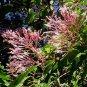 Fuchsia paniculata 3 inch Pot Plant SHRUBBY SCHUFIA MITE-RESISTANT V RAR