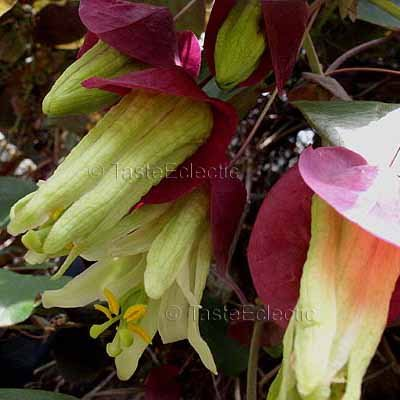 Passiflora membranacea 'Variegated' 3 inch Pot Plant RED BRACTS PASSION FLOWER Vine V RARE