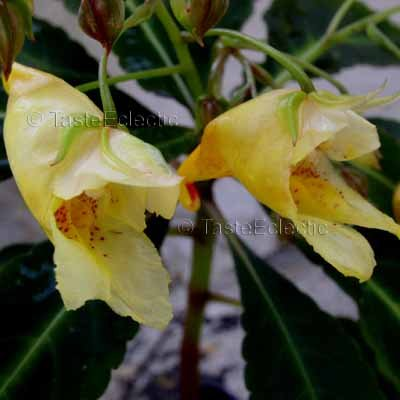 Impatiens omeiana 3 Unrooted Cuttings V RARE Hardy Z7 Tuberous CHINA Yellow VARIEGATED