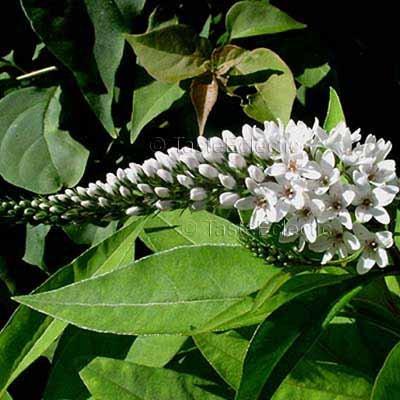 Lysimachia clethroides 3.5 inch Pot Plant GOOSENECK LOOSESTRIFE Easy Hardy Z3