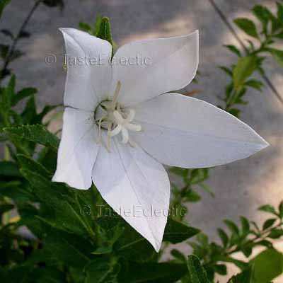 Platycodon grandiflorus White 5 Unrooted Cuttings BALLOON Chinese Bellflower HARDY Z3