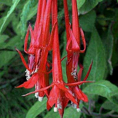 Fuchsia boliviana 3 inch Pot Plant ALL SOLID RED BOLIVIAN FUCHSIA RARE