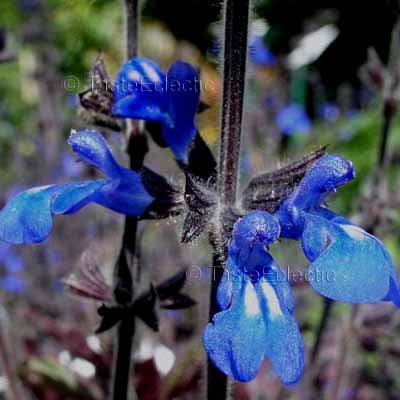 Salvia sinaloensis 3 inch Pot 2-Plants BICOLOR SAPPHIRE BLUE SAGE Shade Z7
