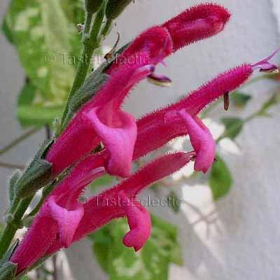 Salvia westerae 3 inch Pot Plant V RARE BOLIVIAN SAGE orbignaei x haenkei