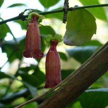 Halleria elliptica 3 Unrooted Cuttings WILD AFRICA SHRUB FUCHSIA Honeysuckle V RARE