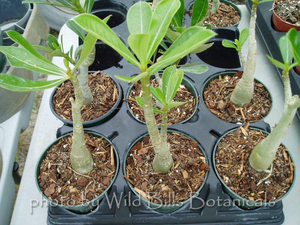 SALE! Rare & Exotic Adenium Obesum Desert Rose *Live Plant*
