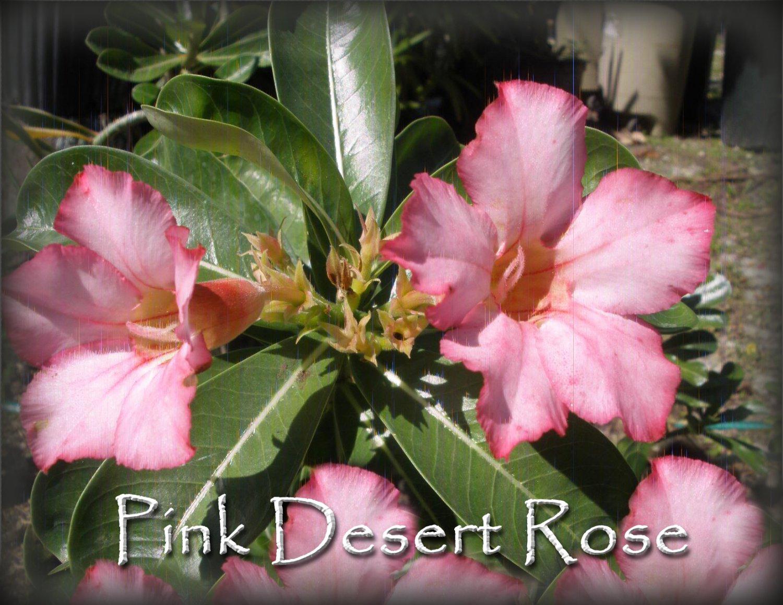 SALE! Rare & Exotic Pink Adenium Obesum Desert Rose *Live ...