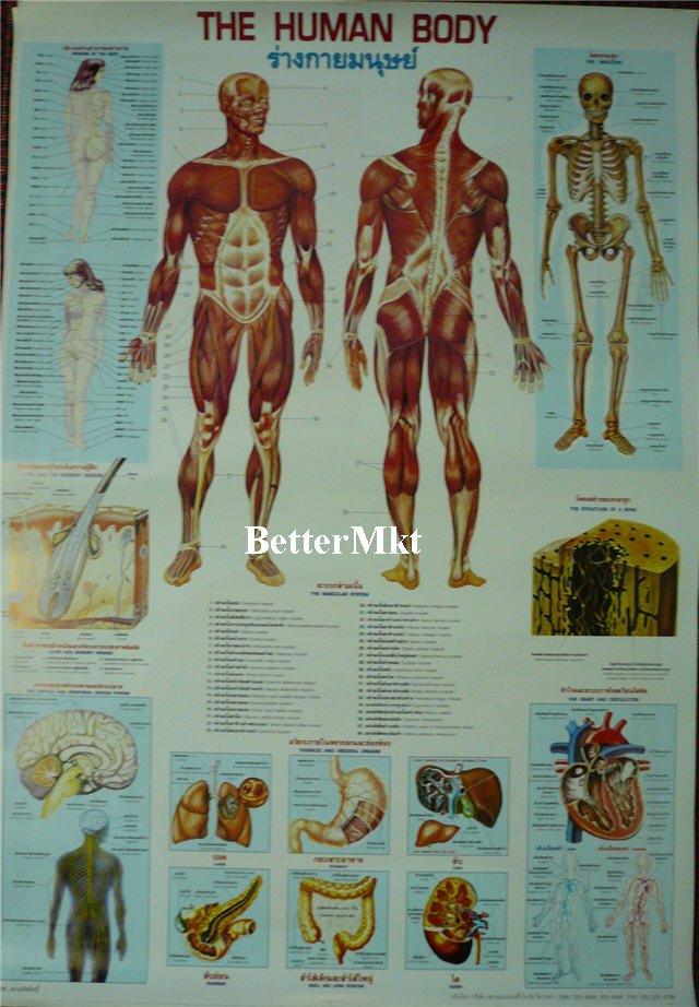 Fantastisch Anatomy And Physiology Biology Fotos - Menschliche ...