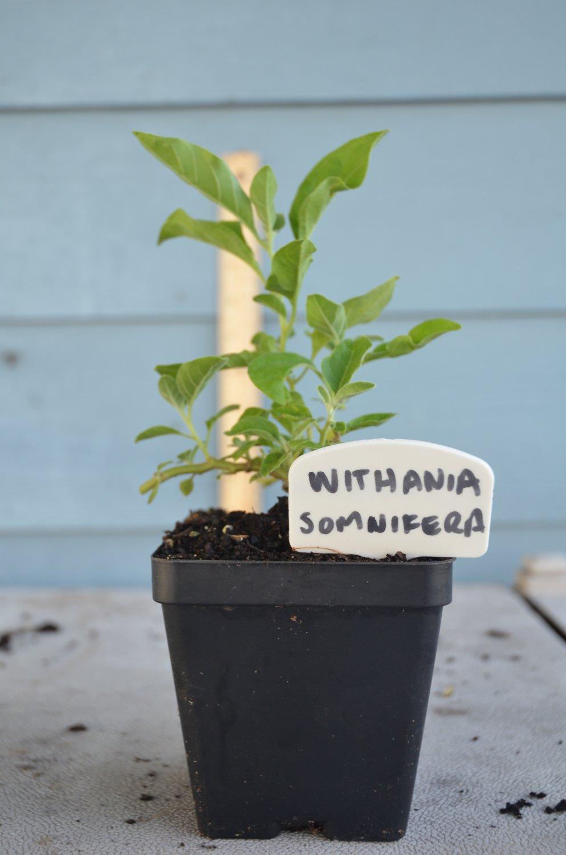 Withania Somnifera live plant  Ashwagandha