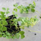 Gynostemma Pentaphyllum live plant jiaogulan