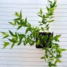 justica pectoralis var. stenophylla live plant tilo