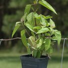 dream herb plant calea