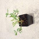 Heimia myrtifolia live plant sun opener