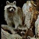 Raccoons K M Kostyal 1987 -Books For Young Explorers National Geographic Society