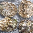 Pacific Oysters-large : Superior quality---12 pieces