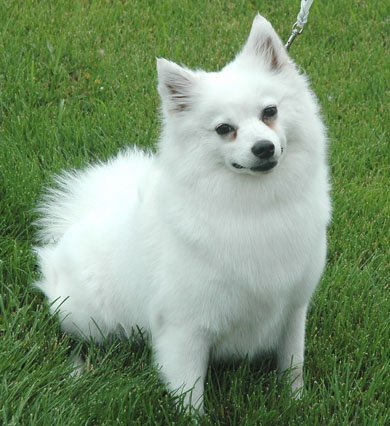 American Eskimo Dog (Miniature)