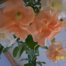 Brugmansia New Orleans Lady- cutting